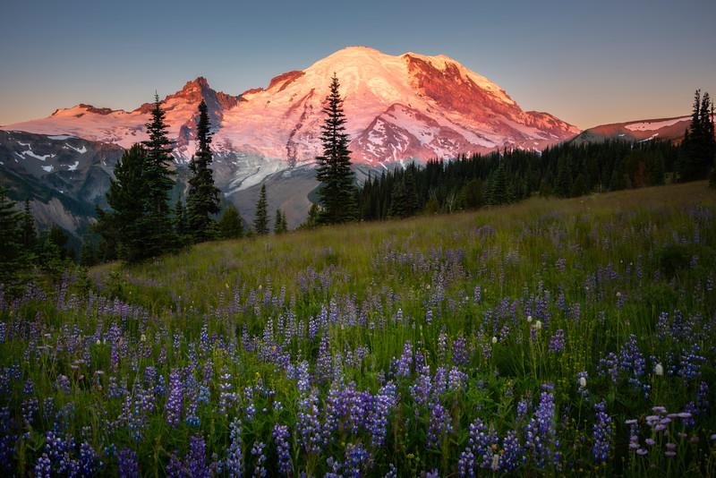 Morning Light On Mt Rainier In Sunrise Meadow - Mount Rainier National Park, WA