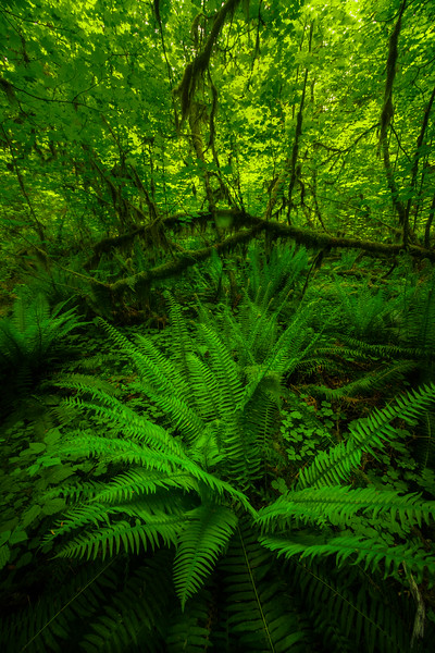 Inside The Hoh Rainforest In Spring
