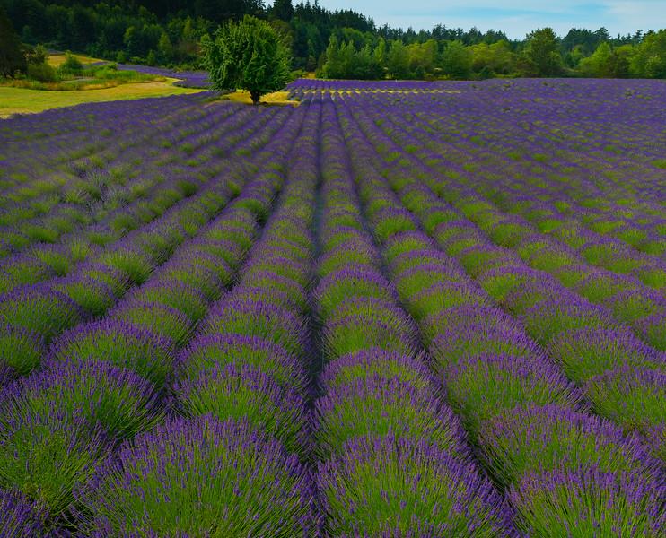 Converging Paths Of Color - Pelindaba Lavender Farm, San Juan Islands, WA