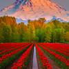 Red Tulip Fields Converge On Mount Rainier-Sumner, WA