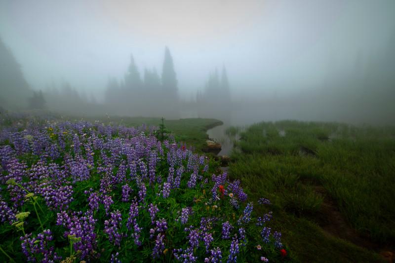 Lupine Mystery Through The Fog - Mount Rainier National Park, WA