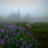 Lupine Mystery Through The Fog - Mount Rainier National Park, WA