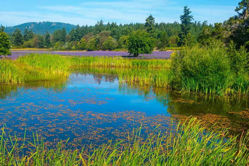 A Little Pond In Between - Pelindaba Lavender Farm, San Juan Islands, WA
