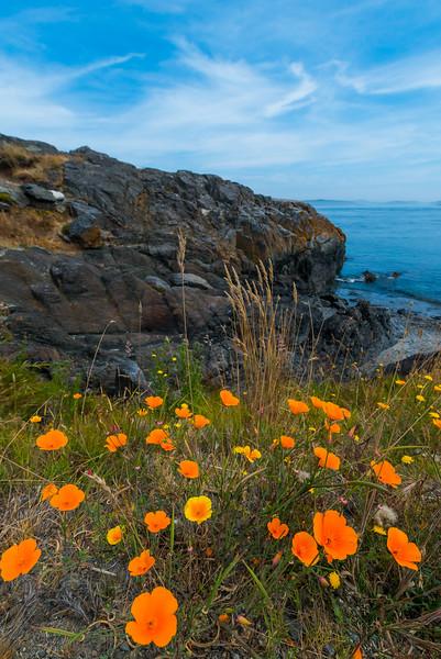 Poppies At South Beach - Friday Harbor, San Juan Islands, WA