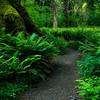 Waist High In Ferns - Hoh Rain Forest, Olympic National Park, WA