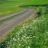 Daisy In The Curve -The Palouse, Eastern Washington And Western Idaho