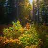 Sun Coming Through Fall Forest - Lake Wenatchee State Park, Leavenworth, WA