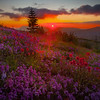 Mt St Helens Sunburst Over Wildflowers