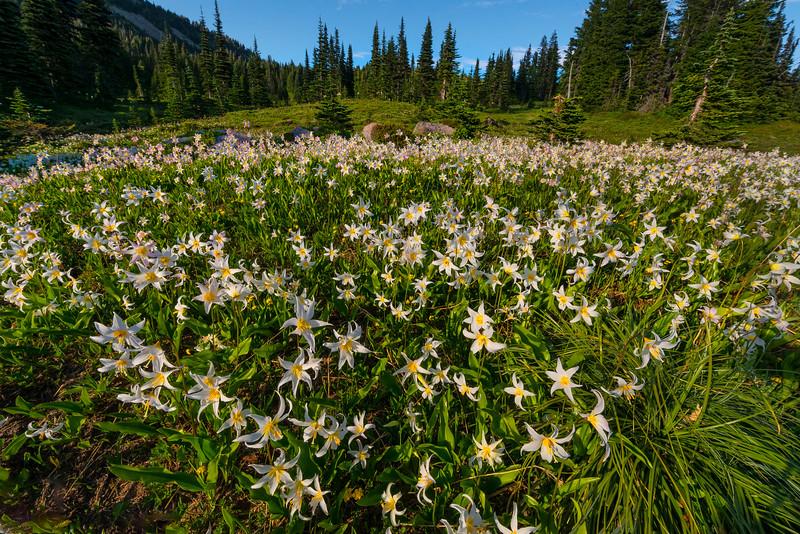 V Shaped Avalanche Lilies - Spray Park,  Mount Rainier National Park, Washington