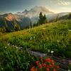 Arrangement Of Indian Paintbrush Leading To Rainier - Mount Rainier National Park, WA