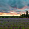 Delicate Rows Of Purple - Pelindaba Lavender Farm, San Juan Islands, WA