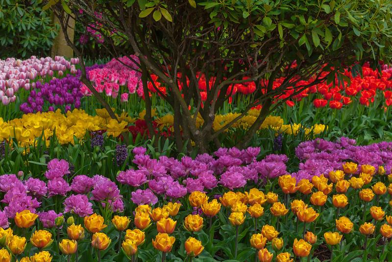 Skagit Tulip Gardens, Mt Vernon, WA