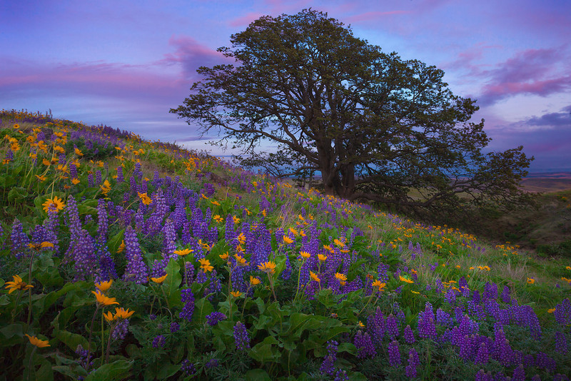 Hidden Fields Of Color - The Dalles, WA