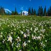 Avalanche Lilies Uphill -Spray Park,  Mount Rainier National Park, Washington