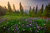 Meadow Arrangement Of All Colors Pinnacle Peak Area, Mount Rainier National Park, WA