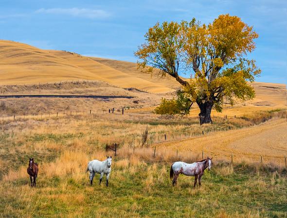 Horses And Big Yellow Tree _The Palouse_Eastern Washington