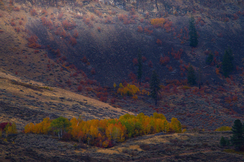 A Stand Of Vivid Aspens Hangs On The Hillside - Methow Valley, Washington State