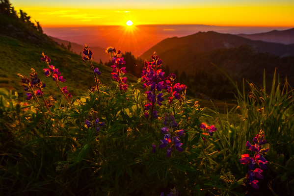 Lupine Rim Glow At Sunset -Tolmie Peak, Mount Rainier National Park, WA