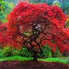 Fall Colors In Kubota Gardens, Seattle, WA A Blazing Fire Red Japanese Maple -  Kubota Garden, Seattle, Washington