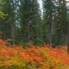 Fall Color On The Forest Floor - Lake Wenatchee State Park, Leavenworth, WA