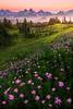 Aster Twilight Heaven On Mt Rainier - Dead Horse Creek Trail, Mount Rainier National Park, WA