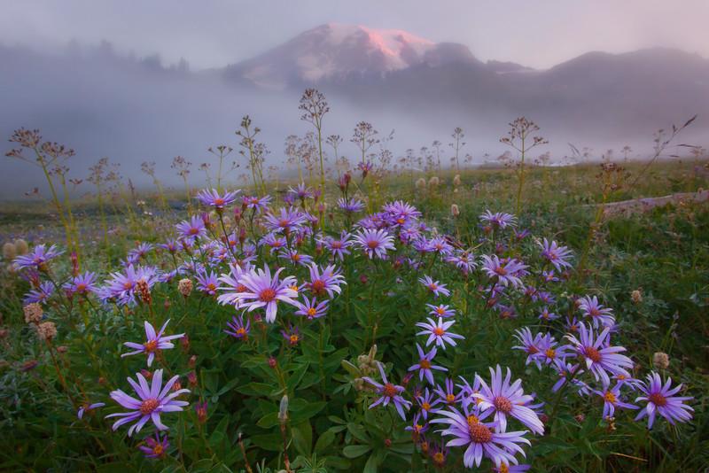 Aster Heaven - Paradise Meadows, Mount Rainier National Park, WA