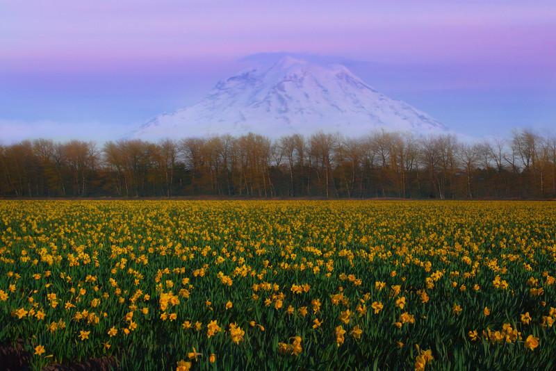 Daffodils Of Sumner With View Of Mount Rainier - Sumner, Washington