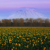 Daffodils Of Sumner With View Of Mount Rainier - Sumner, Washington