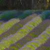 Rows Of Light And Dark - Pelindaba Lavender Farm, San Juan Islands, WA