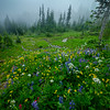 Wildflowers Leading Into The Fog - Mount Rainier National Park, WA