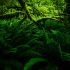 Leaping Ferns Into The Light - Hoh Rain Forest, Olympic National Park, WA