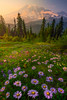 Above It All With The Asters Pinnacle Peak Area, Mount Rainier National Park, WA