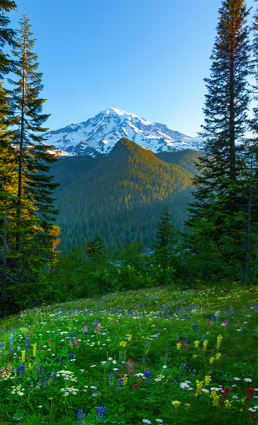 Wildflowers On Downhill Looking At Mt Rainier