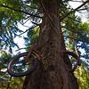 The Famous Bike In The Tree - Vashon Island ,WA