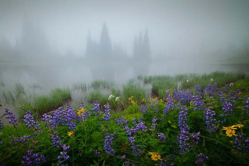 Lupine Lakeside Along Shore - Mount Rainier National Park, WA