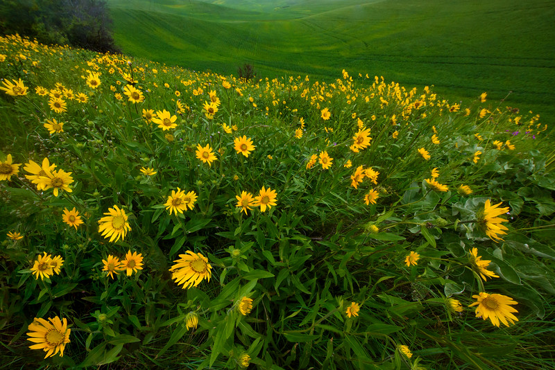 Fields Of Balsamroot Flowers - The Palouse Region, Washington