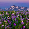 Lupine Framing Mount Shuksan - Skyline Divide, Mount Baker, North Cascades National Park, WA