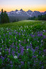 Paradise Lupine Meadows Looking At Tattosh Range - Paradise Meadows, Mount Rainier National Park, WA