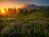 Mt Rainier And Wildflower Meadows Leading Into Mountain - Dead Horse Creek Trail, Mount Rainier National Park, WA