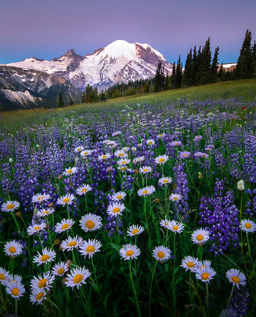 Purple Aster Delight - Mount Rainier National Park, WA