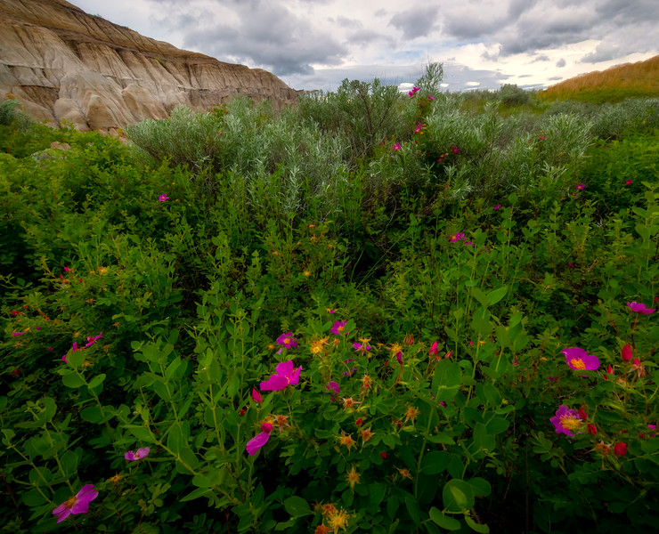A Display Of Vibrant Flowers In The Badlands - Theodore Roosevelt National Park, North Dakota