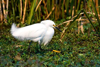 Snowy Egret Foraging