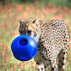 Cheetah at Fossil Rim