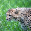 Cheetah at Fossil Rim