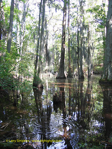 Cypress swamp, First landing State Park, Virginia Beach, VA. September 2006
