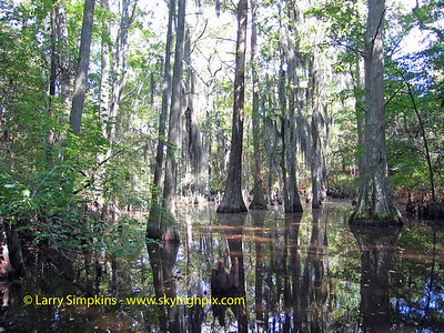 Cypress swamp, First landing State Park, Virginia Beach, VA. 002, September 2006