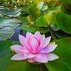 Lily Moments In The Garden - Tofino Botanical Gardens, Tofino, Vancouver Island, BC, Canada
