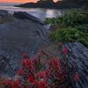Indian Paintbrush Seaside - Botany Bay, Botanical Beach, Juan De Fuca Marine Trail, Vancouver Island, BC, Canada
