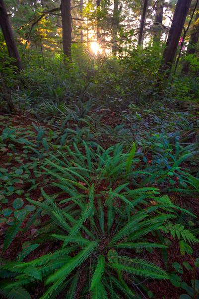 Ferns On Forest Floor As Sun Peaks Through - South Beach, Ucluelet, Vancouver Island, BC, Canada