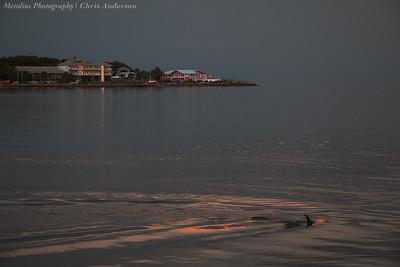 Cedar Key Dusk Dolphin